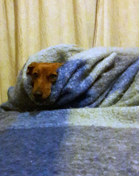 Dachshund under blanket