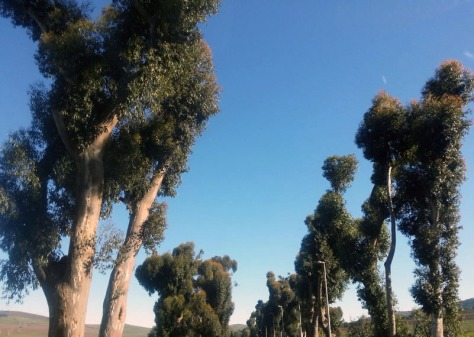 Durbanvilletrees.