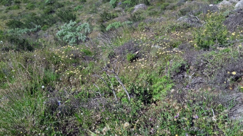 Lion's Head mountain flowers