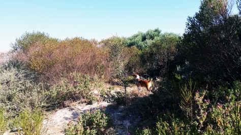 Dog walking in cape veld