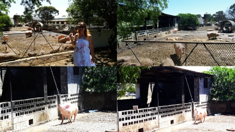 Pig shower at Mountain View Piggery