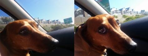 Dacshund in car.