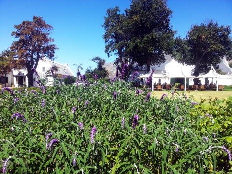 Purple flowers at Steenberg.