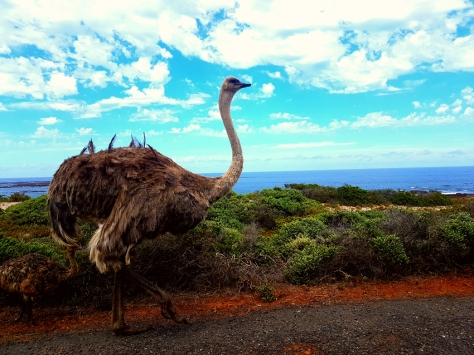 Ostrich in Cape Point