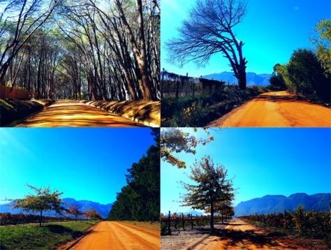 Trees in Stellenbosch