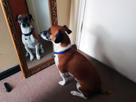 Dog in mirror