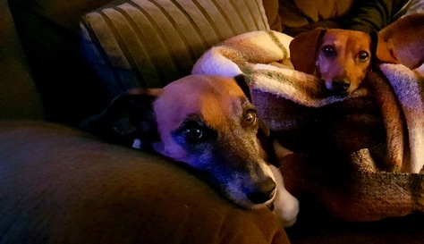 Dogs on couch.