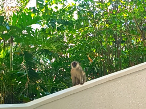 Vervet monkey at the Oysterbox