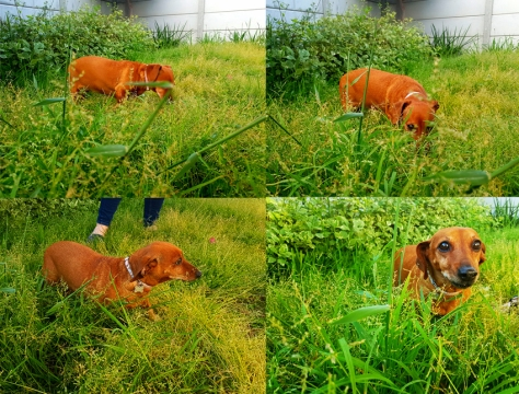 Dachshund in long grass.
