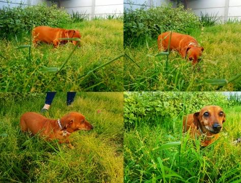 Dachshund in long grass.