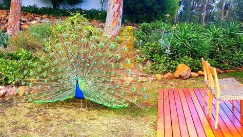 Peacock at La Petite Ferme