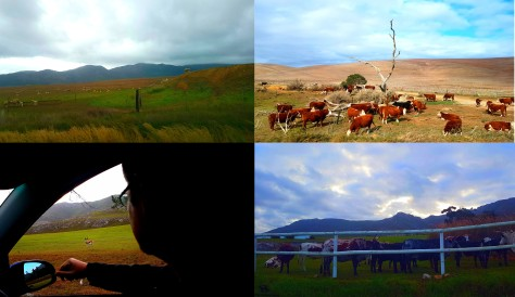 Some of the pretty sights we saw along the way. See sheep, various cows and even Carpaccio, the solo springbokkie. So cute!