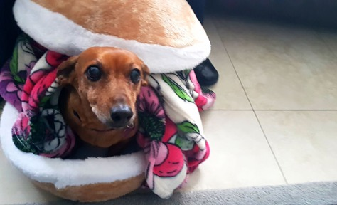 Sweet Bassie finally used her burger-bun bed when I worked from home on Thursday.