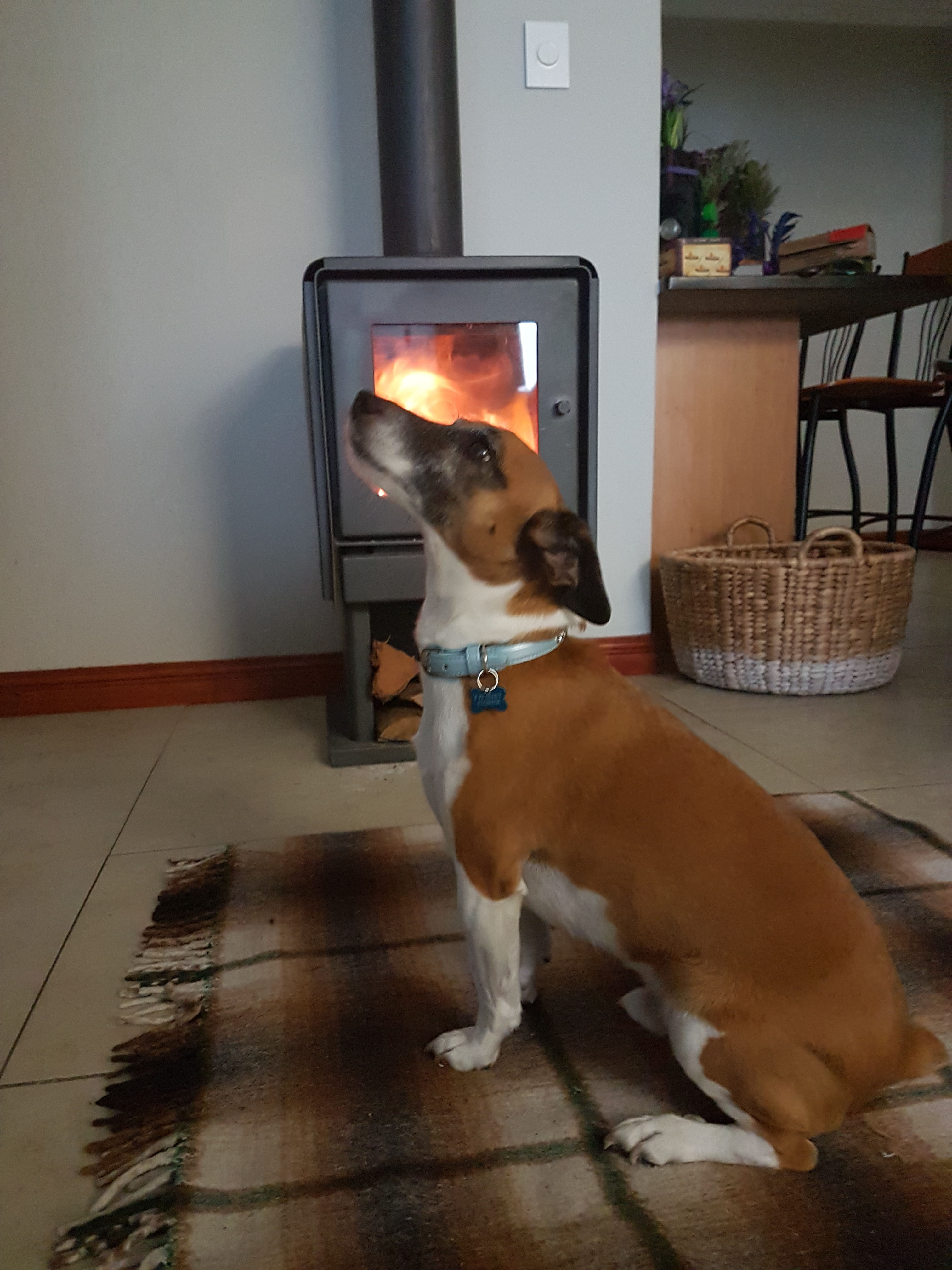 Sweet boy dog with neck extended for full warmth in front of the fire.