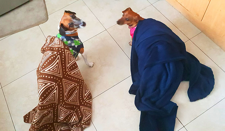 These two are so funny. they insist on being wrapped in blankets, then drag them on the floor behind them when they go explore an interesting noise elsewhere.