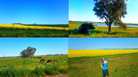 We passed such pretty scenery on our way home from Eat at Perdeberg - field of sunny yellow canola, cows grazing and more.