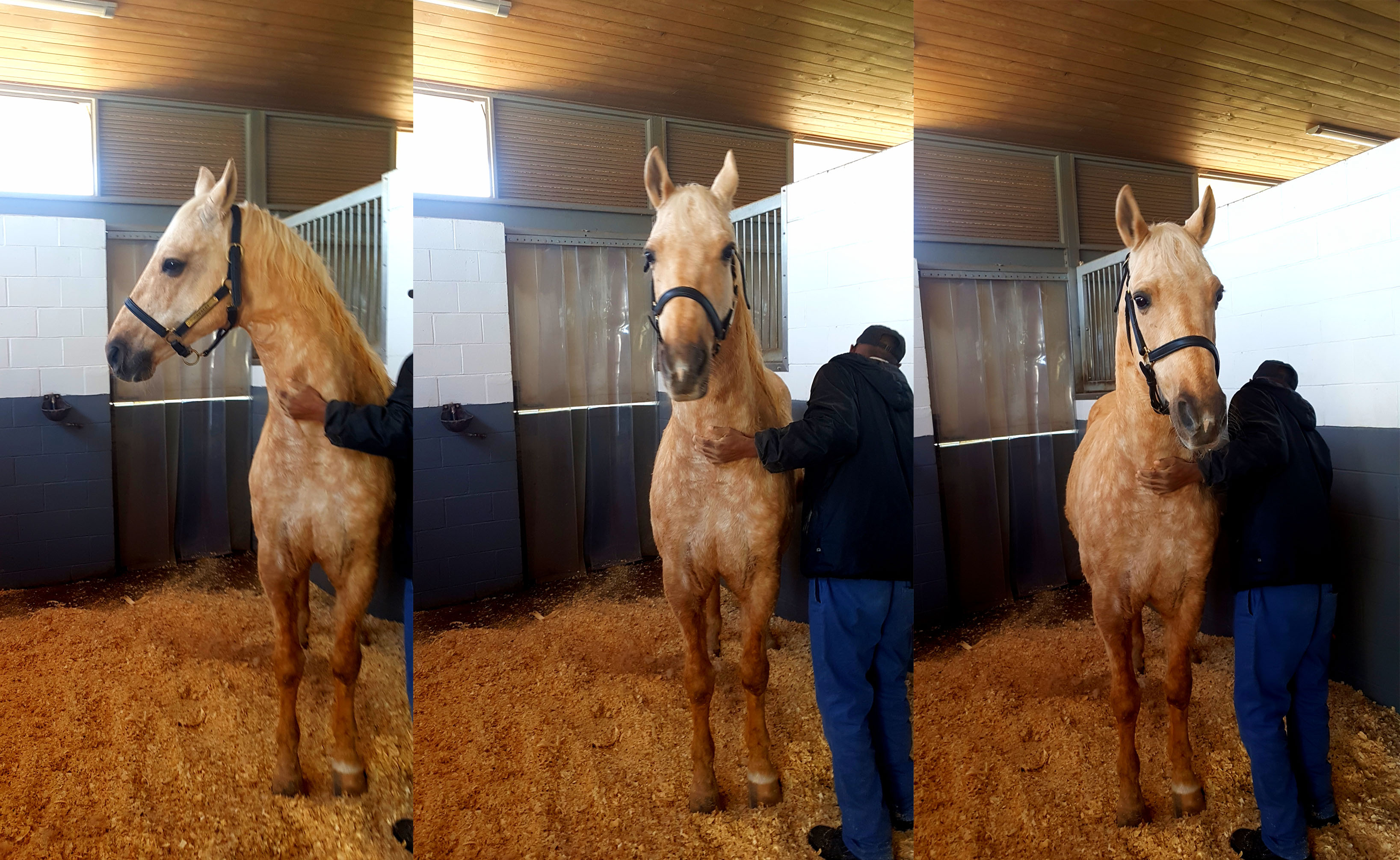 This is a cremello (blonde) horse. Fancy Boy lives in the stables at Cavalli and celebrated his 13th birthday on the day of our visit!